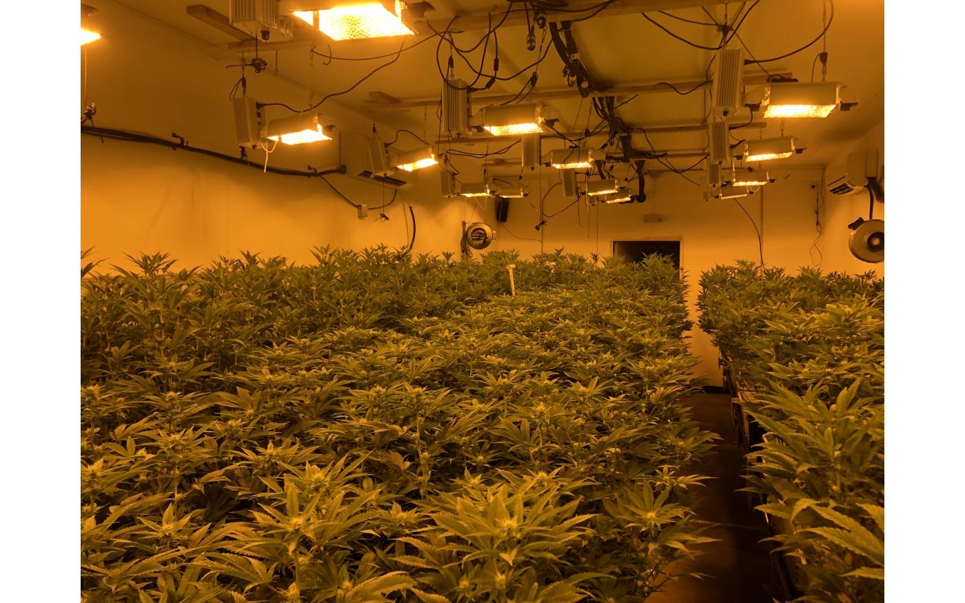 overhead view of cannabis garden