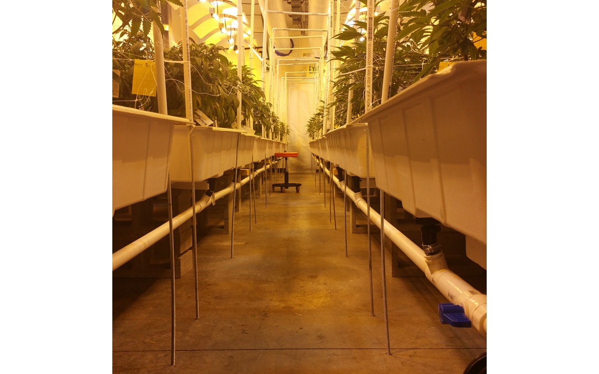 line of cannabis plants in baskets in a cannabis facility