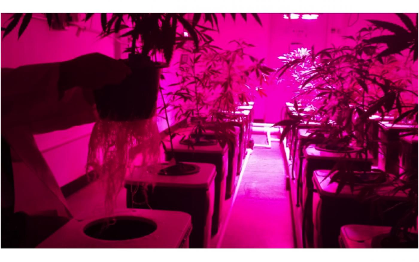 Pink lights in cannabis grow room